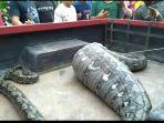 ular-sanca-di-mongkonai.jpg