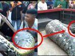 ular-sanca-yang-ditemukan-di-kotamobagu.jpg