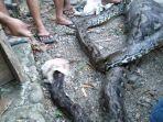ular-sanca-yang-ditemukan-warga-di-kotamobagu.jpg
