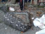 ular-sanca-yang-ditemukan-warga-kotamabagu-67.jpg