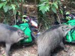 video-memperlihatkan-seekor-babi-hutan-mengobrak-abrik-makanan-4534.jpg