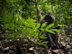 yaki-macaca-nigra-monyet-hitam-endemik-sulut.jpg