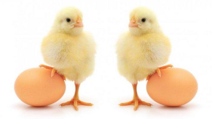 MENJAWAB Teka-teki Duluan Telur atau Ayam Akhirnya Terpecahkan! Ini Jawaban Sains
