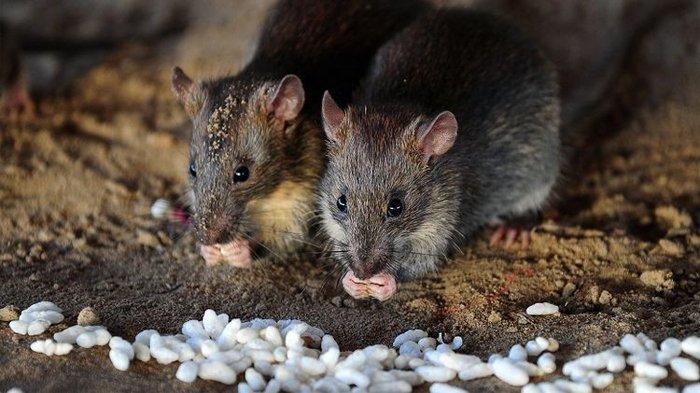 Tak seperti Corona, Hantavirus Masuk Virus Paling Mematikan di Dunia, Kasus 1 Gegara Kotoran Tikus