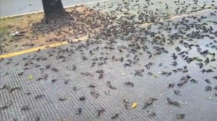Hasil tangkap layar dari video milik petugas kebersihan Pemkot Cirebon, Selasa (14/9/2021). Ratusan burung mati mendadak di halaman Pemkot Cirebon.