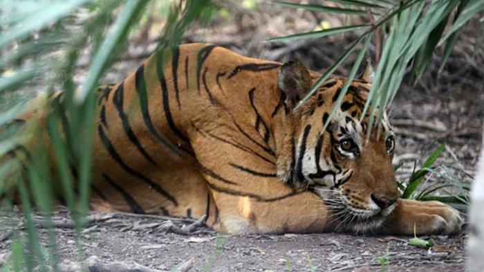 Tak Jadi Korban Diterkam Harimau, Ternyata Katemin Ucapkan Ini Saat Melihat Hewan Buas di Depannya