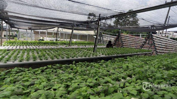 POPULER Iseng Buat Kebun Hidroponik, Pemuda Ini Raih Keuntungan Jutaan Rupiah di Tengah Pandemi