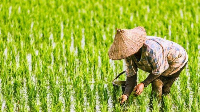 Isu Impor Beras Pemerintah Pusat Bikin Petani NTB Gigit Jari : Kenapa Harus Impor? Kita Panen Raya