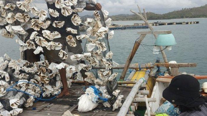 Nelangsa Nelayan Benur di Lombok NTB, Edhy Prabowo Ditangkap, Benih Lobster Tetap Dibeli Murah
