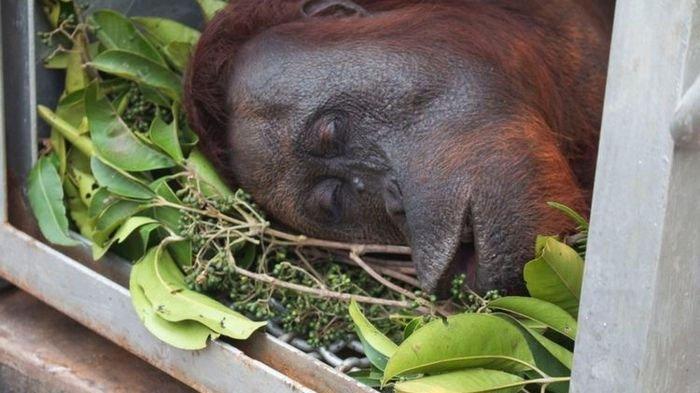 Dua Orangutan Ditemukan di Tengah Kebakaran Hutan Kaltim, Ada Bekas Peluru di Kepala