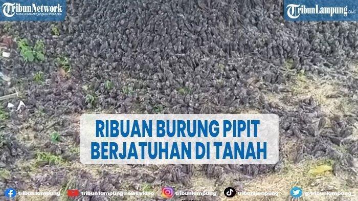Viral Video Burung Pipit Jatuh Berhamburan di Bali, Perekam: 'Ada yang Mati, Ada yang Masih Hidup'