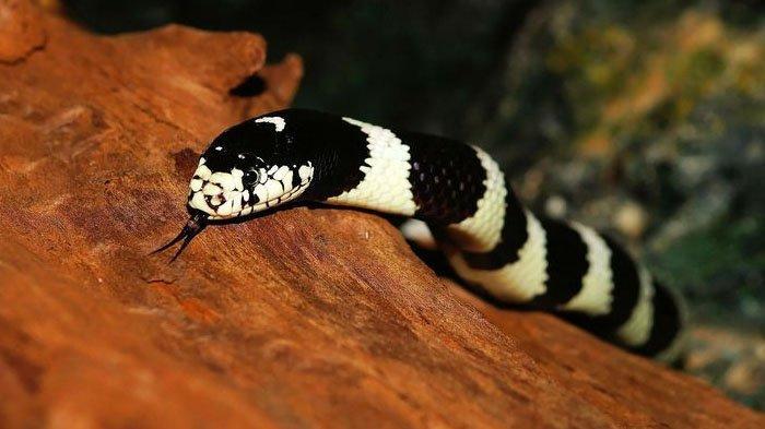 Indonesia Memiliki Berbagai Jenis Ular, Bagaimana Cara Hidup Damai dengan Hewan Reptil Ini?