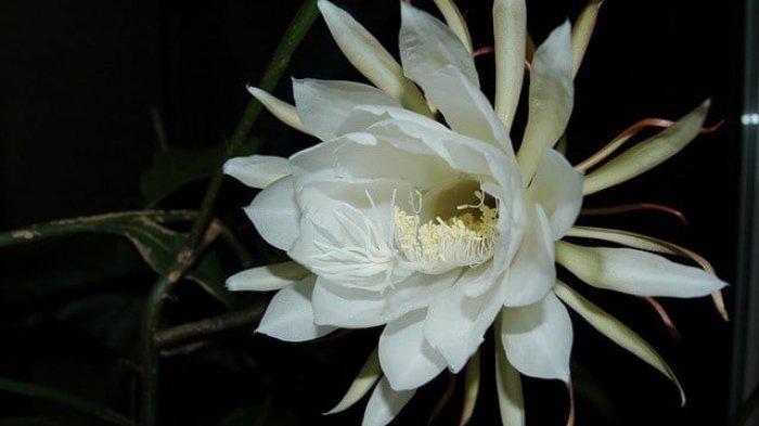 Bunga Wijaya Kusuma -