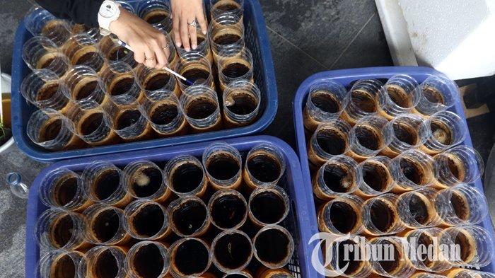 Nurul Qomariah memberi pangan ikan cupang hias ternaknya di Poison Betta Medan, Kamis (11/3/2021).  Budidaya ikan cupang hias menjadi salah satu bisnis rumahan yang berkembang sejak pandemi Covid-19 melalui sistim pemasaran secara daring, dengan harga jual Rp 50 ribu hingga jutaan per ekor.