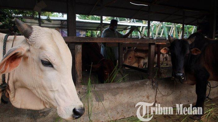 Peternak memberi pakan sapi yang dijual untuk hewan kurban di peternakan di Jalan Avros, Medan, Selasa (13/7/2021). Penjualan Sapi untuk kebutuhan kurban mengalami penurunan hingga 20 persen dibanding tahun lalu, dijual mulai Rp11 juta hingga 35 juta per ekor sesuai ukuran.