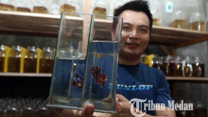 Berita Foto: Omzet Puluhan Juta Per Bulan, Tren Positif Budidaya Ikan Cupang Hias di Tengah Pandemi