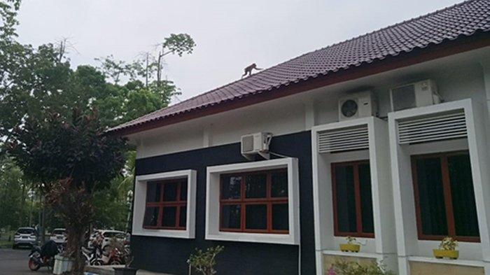 HEBOH Monyet Berkeliaran di Kantor Bupati Deliserdang