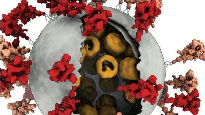 Virus Corona makin sedikit tonjolan protein (spike) makin efisien virus ini terikat dengan sel manusia
