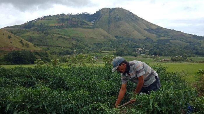 Cerita Petani Samosir Betapa Susahnya Mendapat Pupuk Subsidi