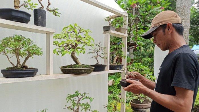 Koleksi Ribuan Tanaman Bonsai, Amir Olah Hobi Jadi Usaha, Sempat Korbankan Bonsai untuk Eksperimen