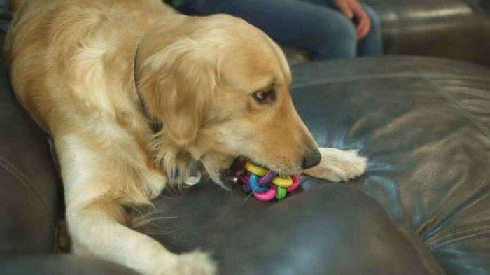 Sheila Anjing Golden Retriever Yang Sudah Setahun Menunggu Tuannya Yang Ditahan Di Kantor Polisi Tribun Medan