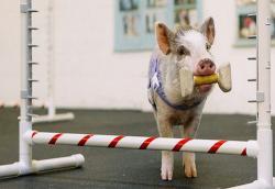 Balap Babi Sambil Edukasi Kebersihan Lingkungan