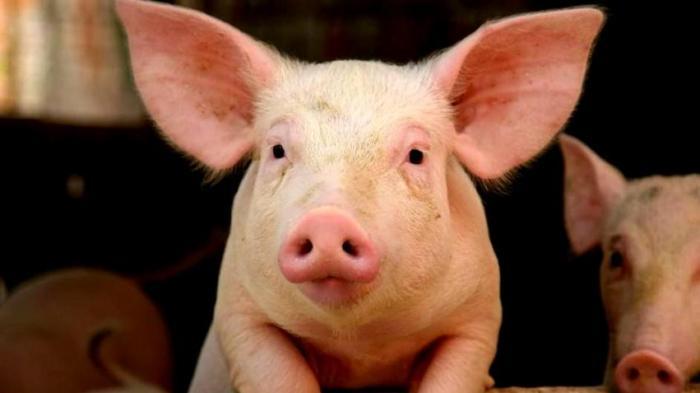 BREAKING NEWS, Populasi Langka, Harga Babi Diprediksi Kian Meroket di Kota Medan