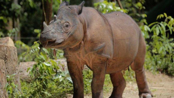 TRIBUN-MEDAN-WIKI: Menyelisik Badak Sumatera, Spesies Tersisa Genus Dicerorhinus