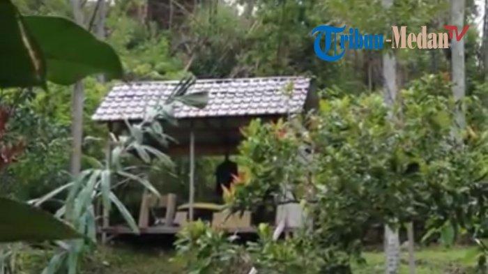 Wisata di Balian Camp Samosir, Pelancong Ibarat Tinggal di Pedesaan hingga Panen Sayur Organik