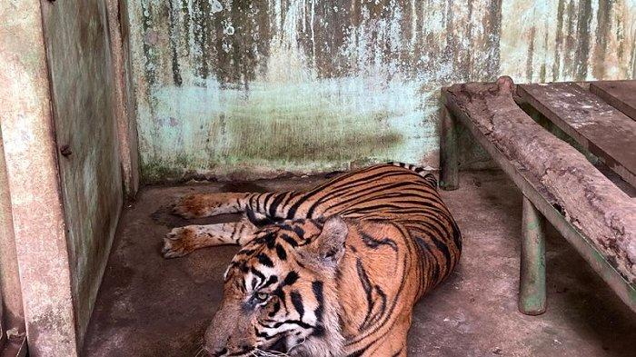 Baringin, harimau Sumatera jantan, penghuni di Medan Zoo nampak lemas, Selasa (12/10/2021).