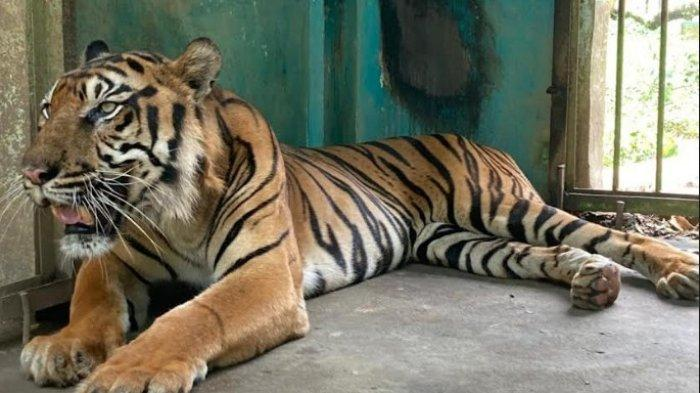 Penjelasan Dokter Hewan Medan Zoo Soal Kondisi Harimau Sumatera yang Diisukan Mati