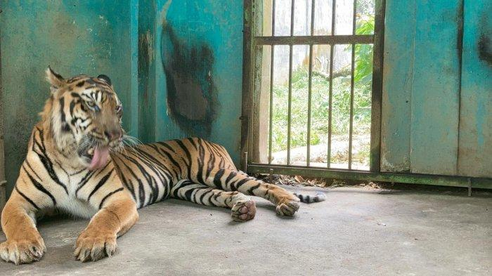 Harimau Sumatera di Medan Zoo Diagnosis Ada Bakteri Samonela, Dokter : Sudah Mulai Membaik