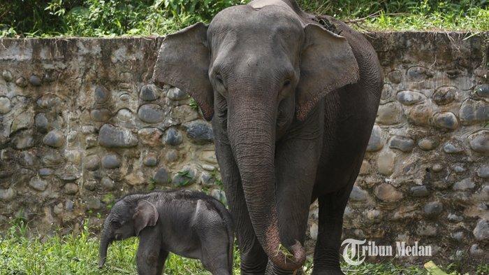 Anak Gajah Sumatera (Elephas maximus sumatranus) bernama Boni sedang bersama induknya di Pusat Latihan Satwa khusus Gajah Sumatera, Tangkahan, Kabupaten Langkat, Sumatera Utara, beberapa waktu lalu. Anak gajah setinggi 108 cm dan berat sekitar 60 kg ini lahir pada Senin (1/2/2021) dari induk Gajah Sumatera betina bernama Sari dengan gajah jantan Theo.TRIBUN MEDAN/RISKI CAHYADI