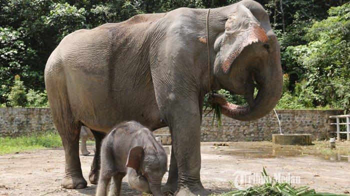 BERITA FOTO Bayi Gajah Sumatera Yang Lahir di Tangkahan Ini Bernama Boni