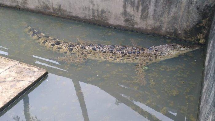 Masih Ada 3 Ekor Buaya Dewasa yang Harus Diwaspadai Warga di Sungai Sangga Lima Kabupaten Langkat