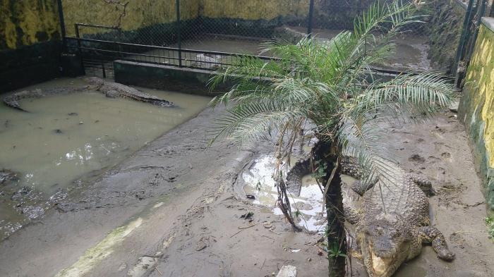 Buaya yang selamat dari banjir bandang di Kota Pematangsiantar, Rabu (2/12/2015). 17 dari 18 ekor buaya sudah berada di kandang di Taman Hewan Pematangsiantar.