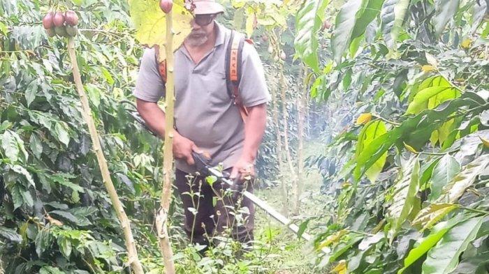 Panen Kopi di Karo Menurun 30 Persen, Diduga karena Intensitas Hujan Tinggi