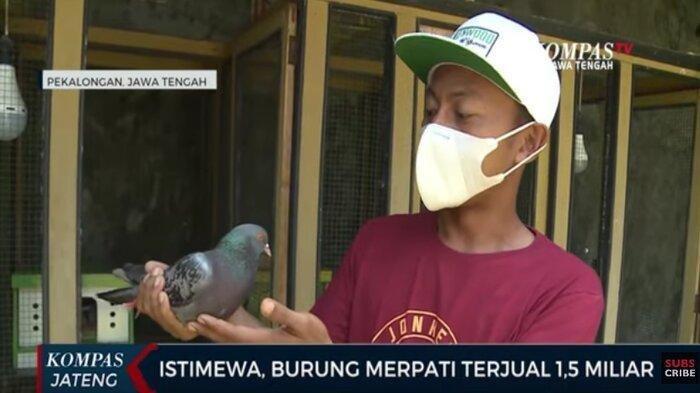 Warga Pekalongan Jual Merpati Rp 1,5 Miliar, Sempat Berat Hati hingga Dibeli Bos asal Jakarta