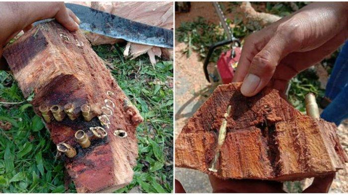 Puluhan Peluru Ditemukan di Batang Pohon Kapuk, Diduga Sisa Perang Melawan Belanda di Toba