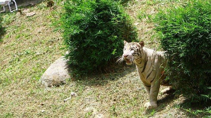 Satu diantara harimau koleksi Sinka Zoo