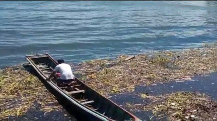 Bau Busuk Enceng Gondok di Danau Toba, Protes Warga: Dibersihkan tapi Tak Diangkut!