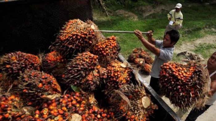 Harga Sawit Terus Meroket, Petani di Sumut: Alhamdulillah Bisa Biayai Kehidupan Sehari-hari