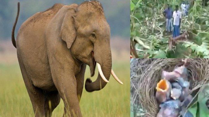 Kawanan Gajah Liar Hancurkan 300 Pohon Pisang Milik Petani, Kecuali Satu Pohon yang Bersarang Burung