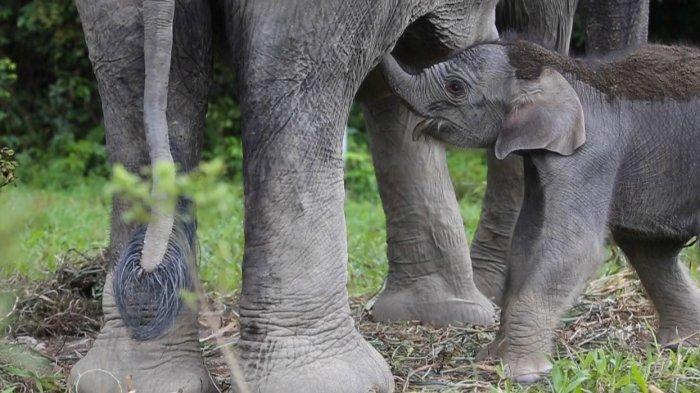 Gajah yang memiliki nama Sari (35) melahirkan anak gajah berjenis kelamin betina di Pusat Latihan Satwa Khusus Gajah Sumatera di Tangkahan, Kabupaten Langkat, Senin (1/2/2021).