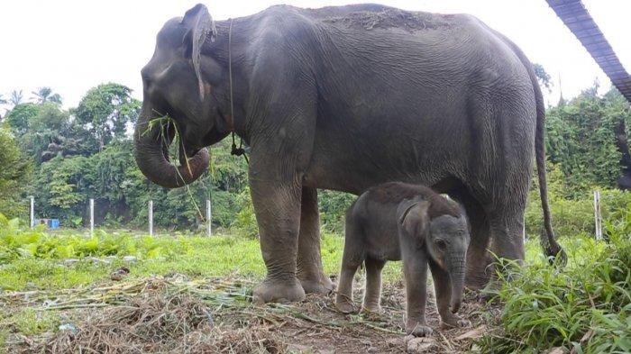 Gajah Sumatera Bertambah Lagi, Bayi Gajah Seberat 69 Kg Telah Lahir di Kabupaten Langkat