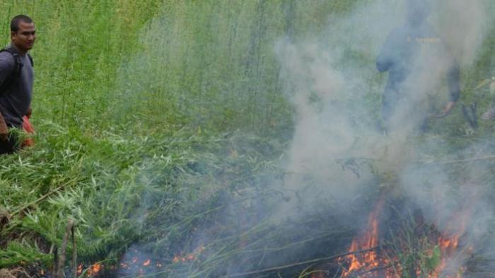 77 Ribu Batang Pohon Ganja Ditemukan di Madina