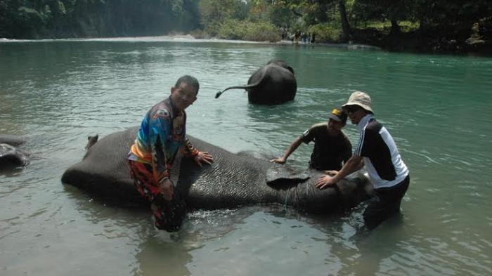 Gubernur Sumut Turun Ikut Mandikan Gajah
