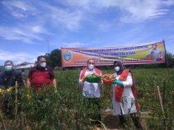 Gubernur Sumut Janjikan Bantuan ke Petani Karo saat Memanen Kentang di Desa Gung Pinto