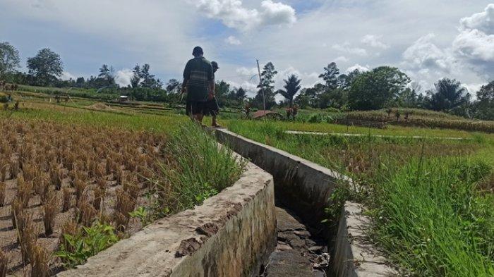 Masa Persiapan Tanam Padi, Petani di Toba Butuh Perhatian Khusus Dinas Pertanian,