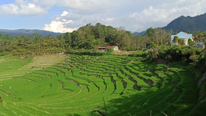 Wisata Sawah Mirip Jatiluwih dan Tegalalang Bali ada di Kabupaten Toba